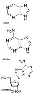 molecular structures of Adenine and Adenosine