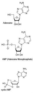 cyclic Adenosine Monophasphate (cAMP)