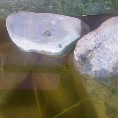 Tiny toads sitting on aquarium rocks